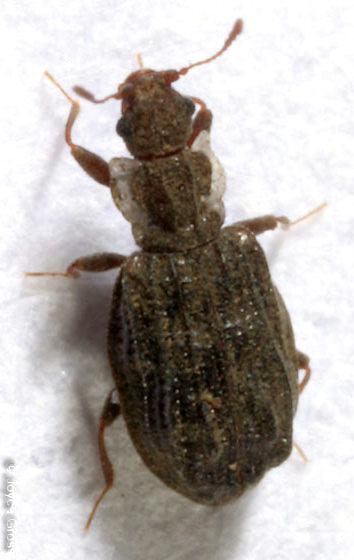beetle - Cartodere nodifera