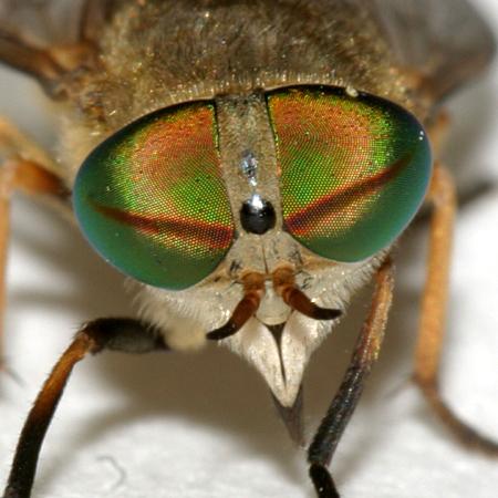 Greenhead Fly - Tabanus nigrovittatus - female