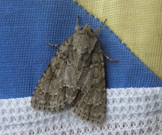 Gray Moth - Acronicta spinigera