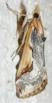 Moth # 07-308 - Loxostege albiceralis