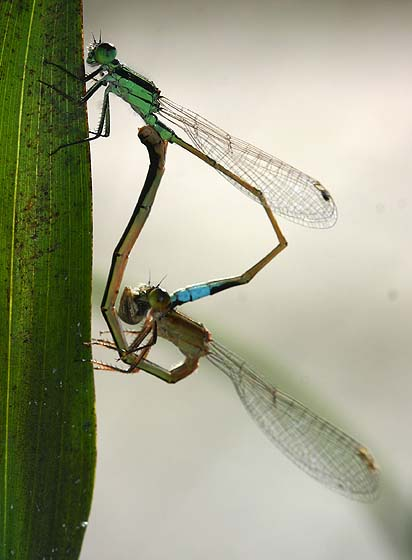 Mating Forktails - Ischnura ramburii - male - female
