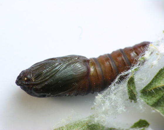 Pupa and adult moth - Choristoneura rosaceana