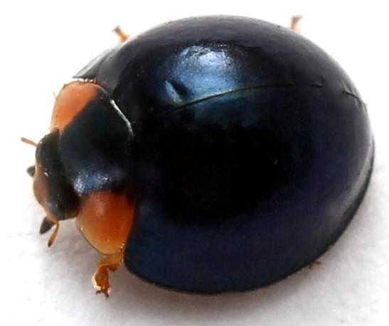 Curinus coeruleus