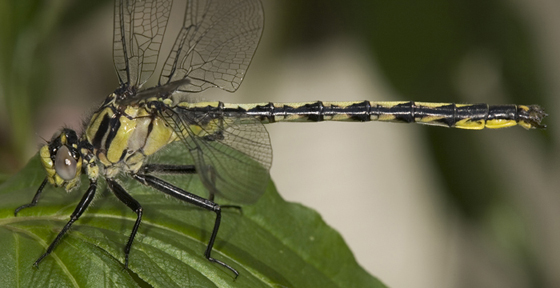 Horned Clubtail - Arigomphus cornutus - male
