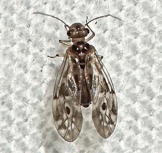 021012Blice1 - Peripsocus - female