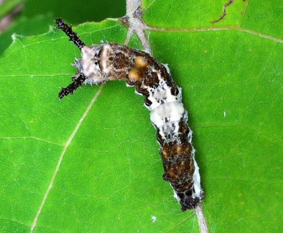 Viceroy Caterpillar - Limenitis