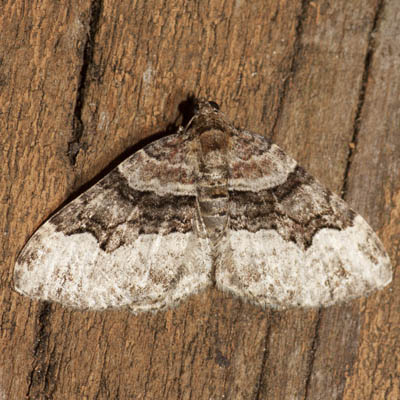 Toothed Brown Carpet - Hodges #7390 - Xanthorhoe lacustrata