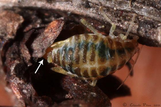 Liosomaphis berberidis - female