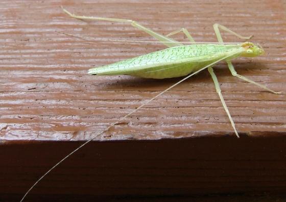 tree cricket - Oecanthus fultoni - female