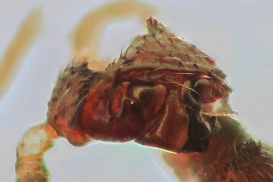 Adult male - Tachygyna vancouverana - male