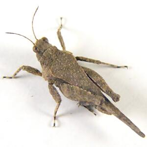 Tiny Mottled Grasshopper - Tetrix arenosa
