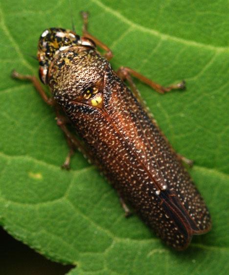 speckled sharpshooter - Paraulacizes irrorata