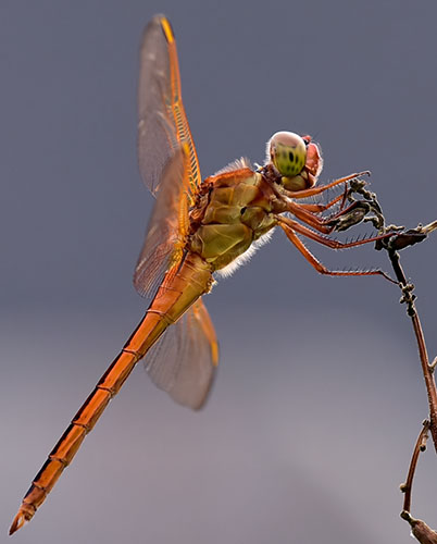 Skimmer? - Libellula needhami - male