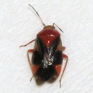 Plant Bug - Neocapsus cuneatus