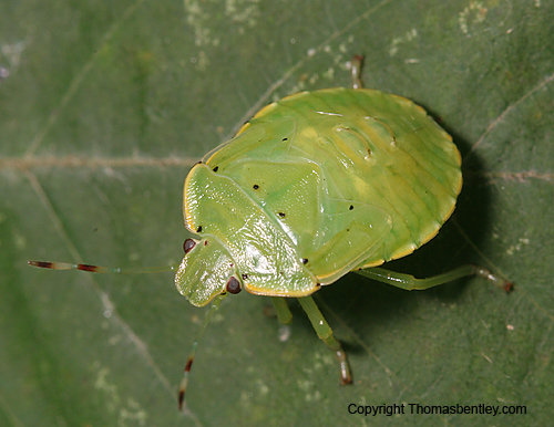 Stink Bug Nymph - Chinavia hilaris