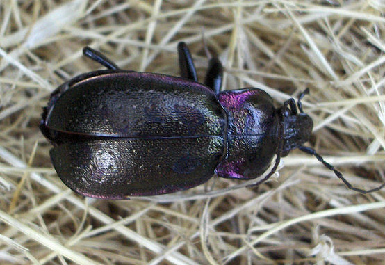 Darkling Beetle? - Carabus nemoralis