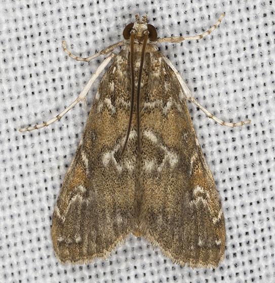 I06A6284 - Elophila gyralis - male