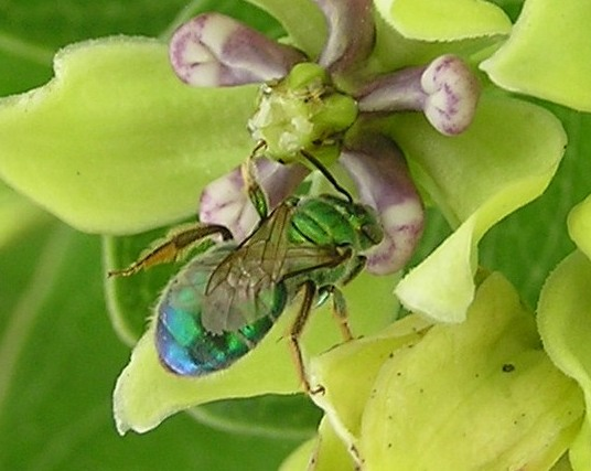 A Favorite - Augochloropsis metallica
