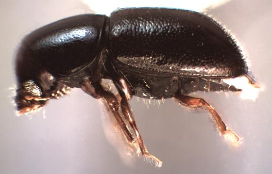 Octotemnus sp. - Octotemnus - female