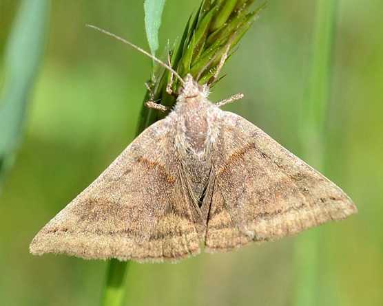 moth A - unident - Caenurgina