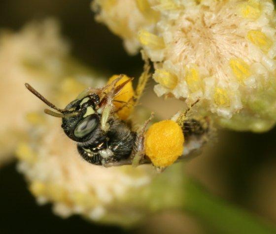 bee 12 - Perdita - female