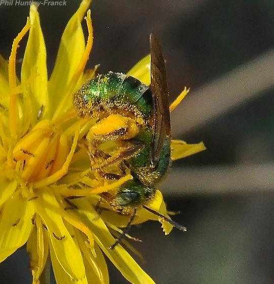 Green bee - Agapostemon - female