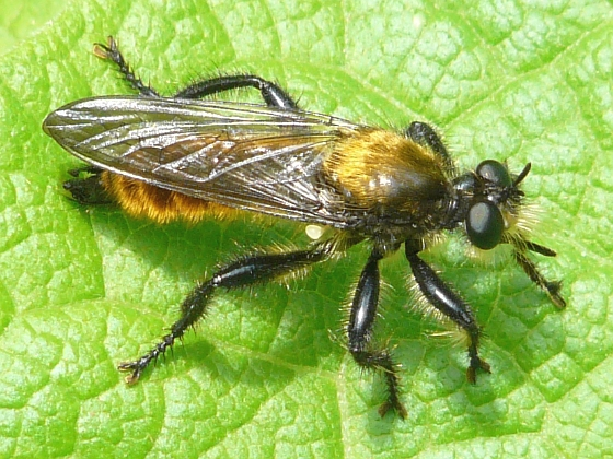 fly - Laphria sericea