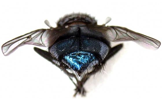Metallic Blue Fly - Calliphora vicina