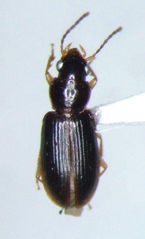 Bradycellus tantillus