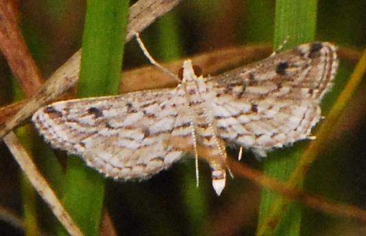Parapoynx allionealis Watermilfoil Leafcutter Moth FPP _DSC0157 9-2-2012 12-05-24 PMcrop - Parapoynx allionealis
