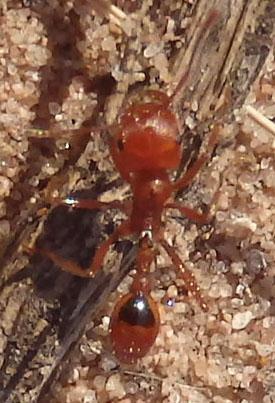 Orange Ant - Pogonomyrmex