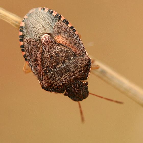 Brown Stink Bug - Holcostethus abbreviatus