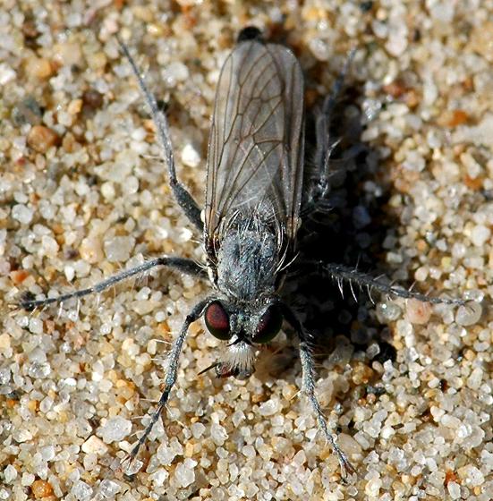 Asilidae - Lasiopogon littoris