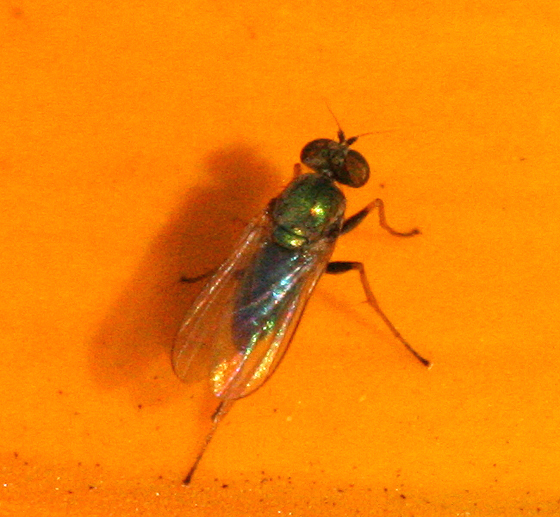 Small Long-legged Fly - Chrysotus