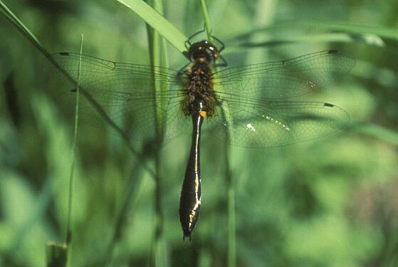 Dragonfly - Dorocordulia libera