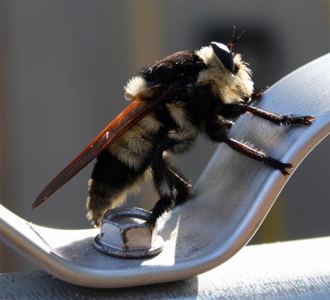 central Florida bee or ? - Mallophora bomboides