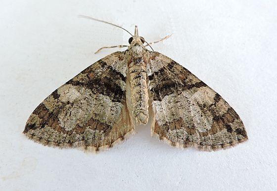 Arizona Moth - Hydriomena barnesata