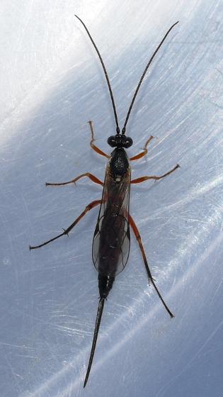 wasp - female