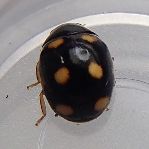 Lady Beetle - Brachiacantha ursina - male