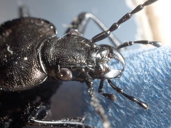 Black Beetle - Carabus granulatus