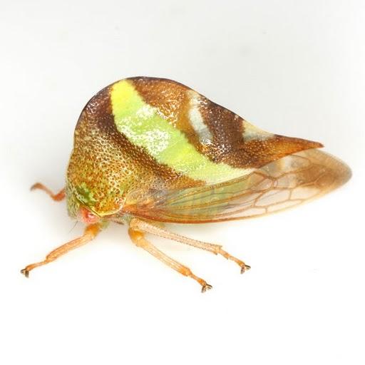 Smilia fasciata Amyot and Serville  - Smilia fasciata