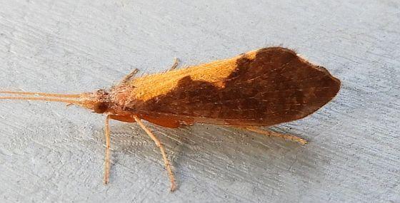 Pennsylvania Caddisfly   - Neophylax