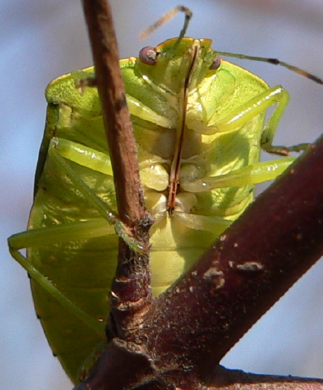 Green Stink Bug - Chinavia hilaris