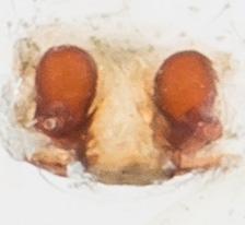 Spider - Grammonota inornata - female