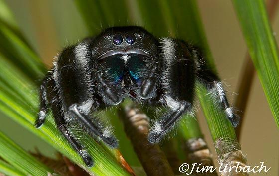 jumping spider - Phidippus regius