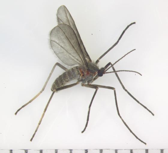 Asphondylia helianthiglobulus  - Asphondylia helianthiglobulus