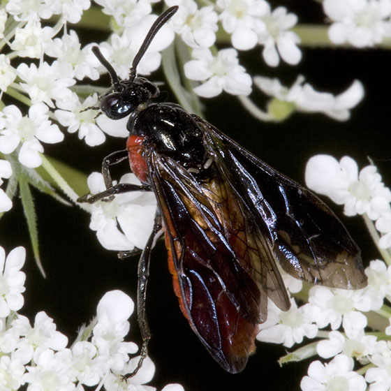 Argid Sawfly 2359 - Arge humeralis
