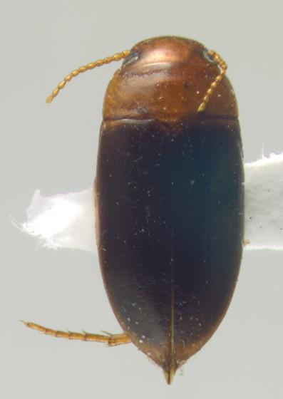 Dytiscidae, dorsal - Celina angustata