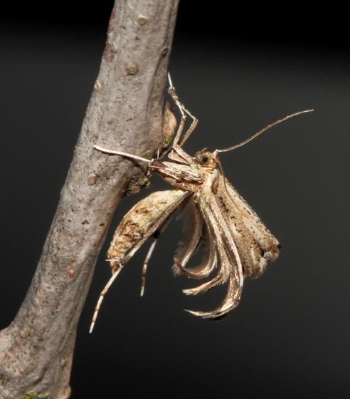 Plume moth  - Oidaematophorus eupatorii