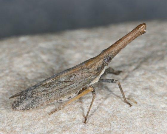 Fulgoroid bug a - Rhabdocephala brunnea